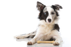 Border collie dog with bone Stock Images