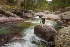 Border Collie Dog on boulder in mountain stream Stock Images