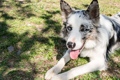 Border Collie dog breed Royalty Free Stock Images