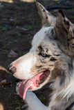 Border Collie dog breed Royalty Free Stock Photography