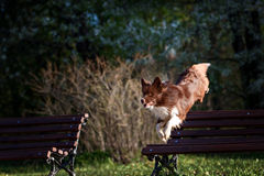 Border Collie dog catches the disc Royalty Free Stock Photography