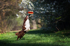 Border Collie dog catches the disc stock photography