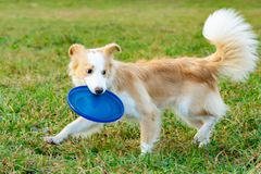 Border collie. The dog catches the frisbee on the fly. The pet plays with its owner. Harmonious relationship with the dog: education and training stock image