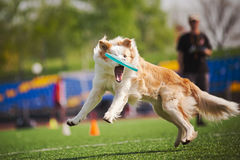 Border collie dog catching the flying disc Stock Images