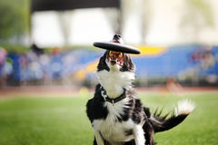 Border collie dog catching the flying disc Royalty Free Stock Photography