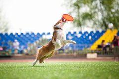 Border collie dog catching the flying disc Royalty Free Stock Images
