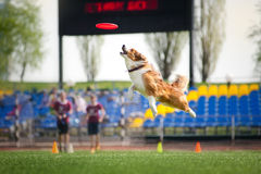 Border collie dog catching the flying disc Stock Image
