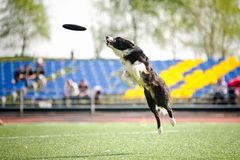 Border collie dog catching the flying disc Royalty Free Stock Photo