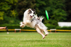 Border collie dog catching frisbee in jump Royalty Free Stock Images