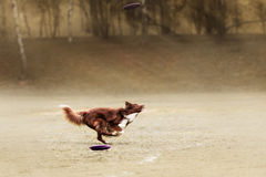 Border collie dog catching frisbee Royalty Free Stock Images