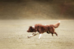 Border collie dog catching frisbee Stock Photo