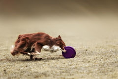 Border collie dog catching frisbee Royalty Free Stock Photo