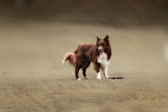 Border collie dog catching frisbee Stock Image