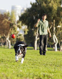 Border Collie Catching Dog Ball Toy at Park. A Border Collie dog caught in the middle of catching a red rubber ball, on a sunny day at an urban park. His owner royalty free stock image