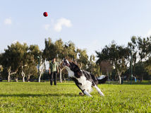 Border Collie Dog Fetching Ball at Park. A Border Collie dog caught in the middle of running after a red rubber ball, on a sunny day at an urban park. His owner Royalty Free Stock Photos