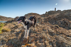 Border Collie dog on coast in Corsica Stock Photography