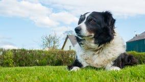 Border collie dog in Devon UK Royalty Free Stock Images
