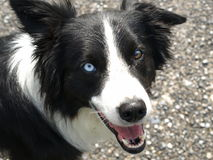 Border collie dog with different eye color Royalty Free Stock Photos