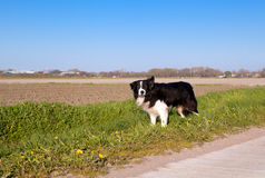 Border Collie dog in Dutch farmland Stock Photos