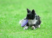 Border collie on dog frisbee Royalty Free Stock Photos