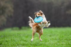 Border collie on dog frisbee Stock Images