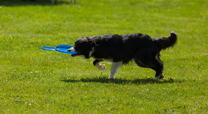 Border Collie dog with frisbee Royalty Free Stock Images