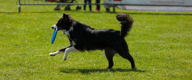 Border Collie dog with frisbee Stock Image
