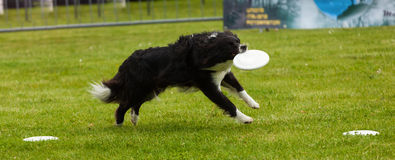 Border Collie dog with frisbee Stock Photos
