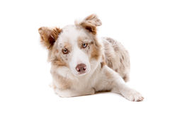 Border collie dog Stock Photography