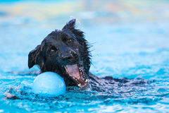 Border Collie Dog Grabbing Toy in the Water. A border collie dog tries to grab a toy in the water at a dock jumping competition Royalty Free Stock Images