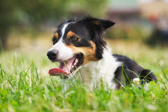 Border collie dog in the grass stock photo