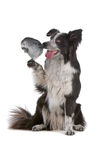 Border collie dog and a grey parrot. Grey parrot sitting on a border collie dogs pawn and being shy royalty free stock image