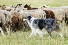 Border collie dog herding a flock of sheep. Purebred border collie herding a flock of sheep on a summer day royalty free stock photography