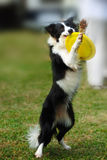 Border collie dog holding toy Royalty Free Stock Photos