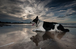 Border Collie Dog Royalty Free Stock Photography