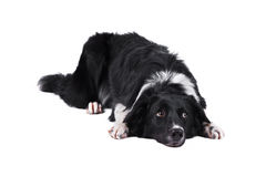 Border collie dog, isolated on the white Stock Images