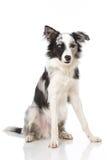 Border collie dog Stock Photography