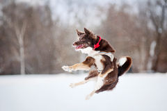 Dog jumping in mid-air Royalty Free Stock Photos