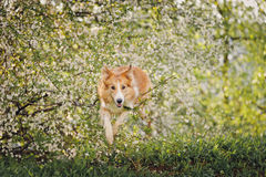 Border collie dog jumping in spring Royalty Free Stock Images