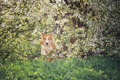 Border collie dog jumping in spring Stock Photo