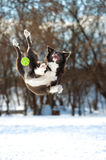 Border collie dog jumps with green ball Stock Image