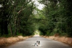 Border collie dog lay on the road in forest . travel concept. space for text stock image