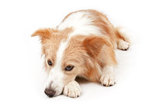 Border Collie Dog Laying Down Stock Photography