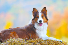 Border collie dog lie on hay in autumn time stock photo