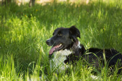 Border Collie dog in long Grass Stock Photos