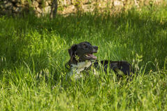Border Collie dog in long Grass Royalty Free Stock Image
