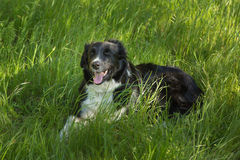 Border Collie dog in long Grass Royalty Free Stock Photos