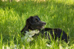 Border Collie dog in long Grass Royalty Free Stock Images
