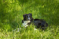 Border Collie dog in long Grass Stock Image