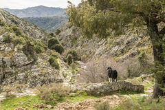 Border collie dog looking across a valley in Corsica Royalty Free Stock Image